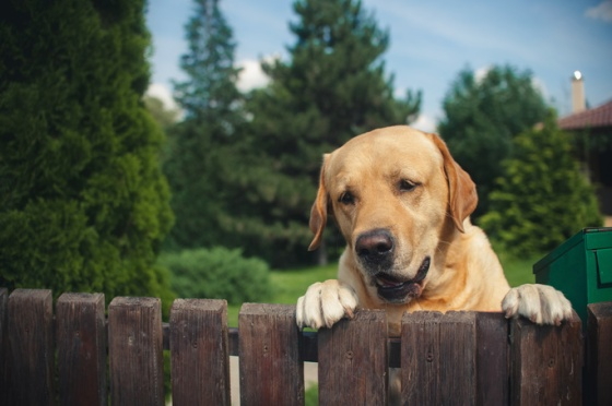 labrador looking over fence